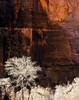 Cottonwoods and canyon wall, Zion National Park