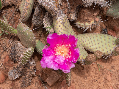 Pink flowering opuntia
