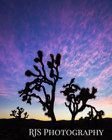 Joshua Tree Silhouette - Joshua Tree National Park