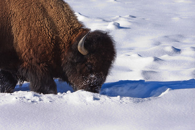 Buffalo Winter Grazing