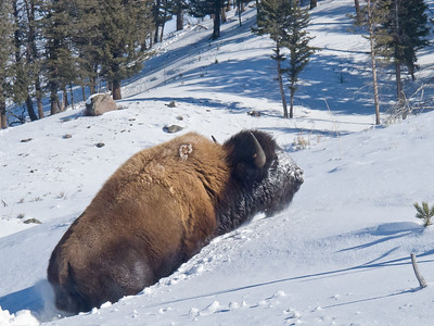 Buffalo Winter Survival