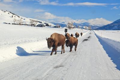 """Buffalo on the Road near """"Buffalo Ranch"""""""