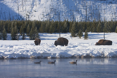 Buffalo on the Madison River