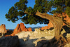 Garden of the Gods Colorado Landscape.<br /> <br /> Living up to 900 years in age Juniper and pinon trees exhibit their tenacity as they cling to the rock formations through the centuries of wind and weather.<br /> <br /> <br /> Daniel P Woods.