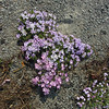 July 13, 2012. Creeping Phlox flowers at Crater Lake National Park, Oregon.