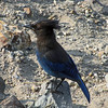 July 13, 2012.  Stellar's Jay at Crater Lake National Park, Oregon.