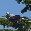 July 13, 2012.  Clark's Nutcracker at Crater Lake National Park, Oregon.