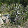 July 13, 2012.  Whitebark Pine at Crater Lake National Park, Oregon.