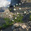 July 13, 2012. Western Anemones/Pasque flowers at Crater Lake National Park, Oregon.