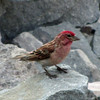July 13, 2012.  Cassin's Finch at Crater Lake National Park, Oregon.