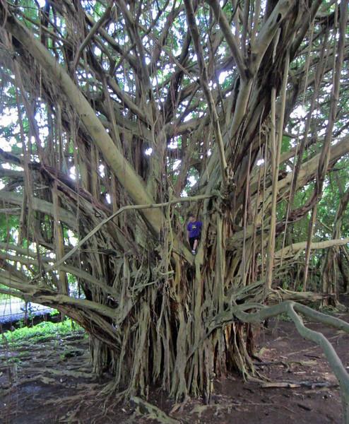 July 16, 2014.  Baobab tree at Rainbow Falls, Hilo, the Big Island, Hawaii.