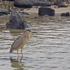 July 21, 2014. Black-crowned night heron at Kaloko-Honokohau National Historic Park, Hawaii Big Island