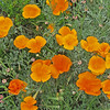 May 3, 2009 - California Poppies at John Muir NHS in Martinez, CA.