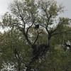 November 14, 2010. Bald eagle and nest at Lower Klamath Lake NWR, California.