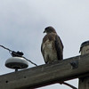 May 19, 2012 - Red-tailed hawk at Lower Klamath Lake NWR, California
