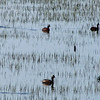May 19, 2012 - Eared grebes at Lower Klamath Lake NWR, California