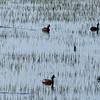 May 19, 2012 - Eared grebes at Lower Klamath Lake NWR, California