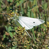 May 19, 2012 - Cabbage white butterfly at Lower Klamath Lake NWR, California