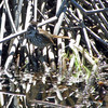 May 19, 2012 - Song sparrow at Lower Klamath Lake NWR, California