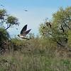 May 19, 2012 - Cliff swallows at Lower Klamath Lake NWR, California