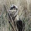 May 19, 2012 - Juvenile great horned owl at Lower Klamath Lake NWR, California