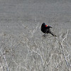 May 19, 2012 - Redwing blackbird at Lower Klamath Lake NWR, California