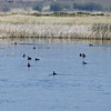 May 19, 2012 - Ducks at Lower Klamath Lake NWR, California