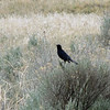 May 19, 2012 - Brewer's black bird at Petroglyph Point