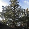 November 12, 2011.  Juniper Tree.