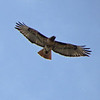 May 19, 2012 - Red-tailed hawk at Petroglyph Point