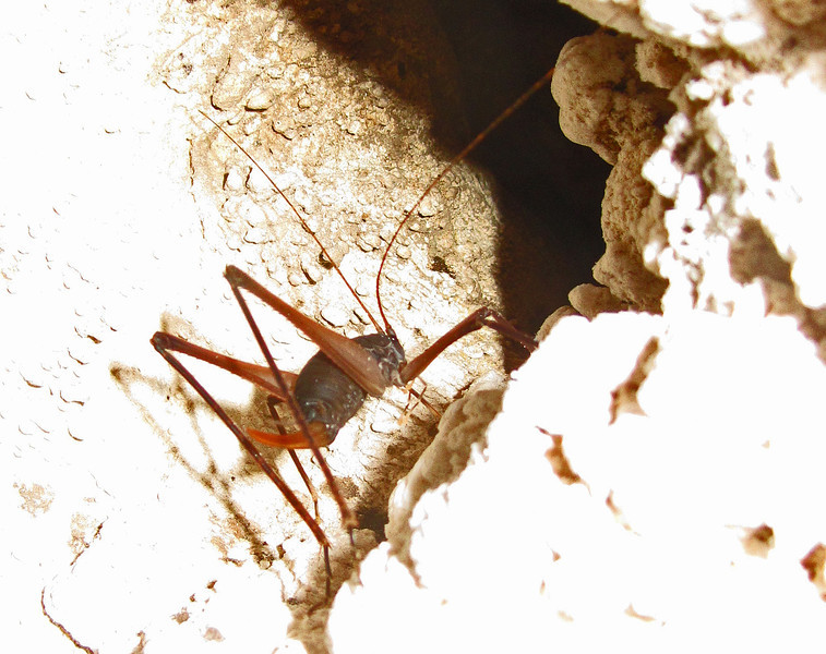 July 11, 2012 - Cave cricket at Oregon Caves NM, Oregon.