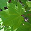 August 23, 2009 - Big Leaf Maple along Rogue River, Oregon
