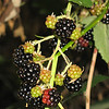 August 23, 2009 - Blackberries along Rogue River, Oregon