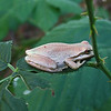 August 23, 2009 - Pacific Tree Frog along Rogue River, Oregon
