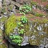 September 6, 2009 - Maple Seedlings, Rogue River National Forest, Oregon