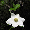 May 31, 2010. Dogwood along the Rogue River, Oregon.