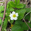 May 31, 2010. Wild Strawberry along the Rogue River, Oregon.