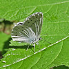 July 6, 2013.  Blue butterfly.  Friends of CSNM at Hobart Bluff.