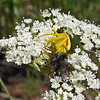 July 6, 2013.  Crab spider with a bumble bee.  Friends of CSNM at Hobart Bluff.