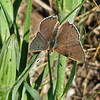 July 6, 2013.  Female blue butterfly.  Friends of CSNM at Hobart Bluff.