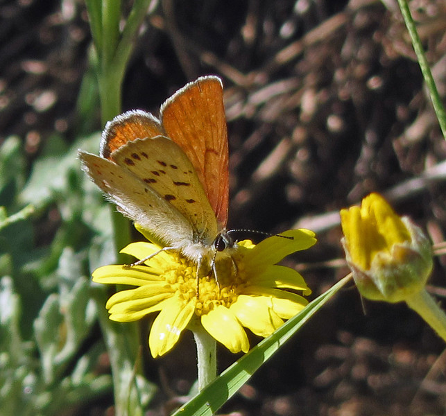 July 6, 2013.  Copper butterfly.  Friends of CSNM at Hobart Bluff.