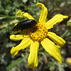 June 29, 2013.  Beetle on Oregon sunshine.  Friends of CSNM at Hobart Bluff.
