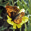 July 4, 2013.  Hoffmann's Checkerspot. NABA Butterfly Count.  Cascade-Siskiyou NM, Oregon.