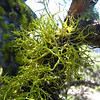 April 13, 2014.  Wolf's Bane lichen, Pilot Rock, Cascade-Siskyou NM, Oregon.
