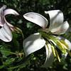 Martha Washington Lily