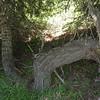 Strange growth on this cedar