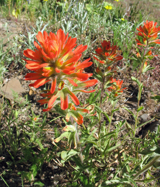 July 5, 2010.  Indian Paintbrush at Pilot Rock, Cascade-Siskiyou NM, BLM, OR.