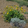 July 5, 2010.  Arrowleaf balsamroot at Pilot Rock, Cascade-Siskiyou NM, BLM, OR.