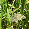 June 21, 2012 - Common Ringlet along the Greensprings Loop Trail, BLM, Oregon.