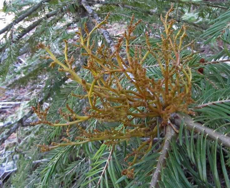 May 7, 2012.  Dwarf Mistletoe on White Fir along the Pacific Crest Trail outside Cascade-Siskiyou NM, Oregon.